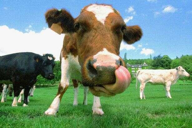 Site de namoro criado na França permite que vacas encontrem pares perfeitos