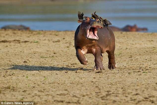 Hipopótamo tenta se livrar de pássaros que se acomodaram em suas costas e imagens se fazem sucesso na web