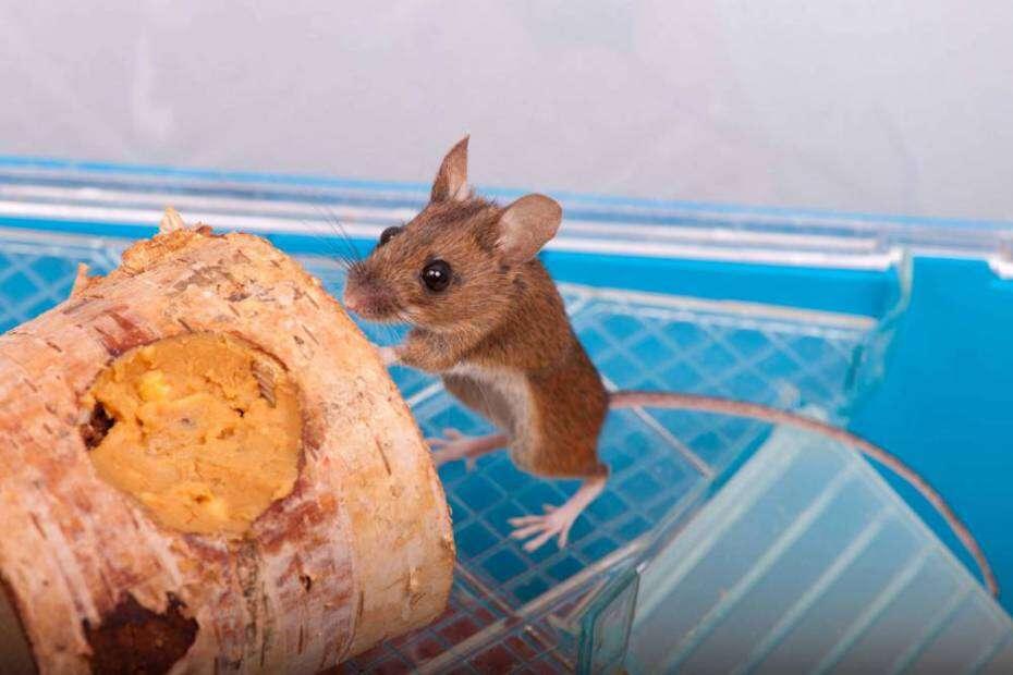 Ratinho é pisoteado tem pata amputada e se salva