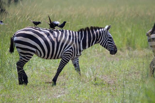 Você já se perguntou pra que servem as listras das zebras?