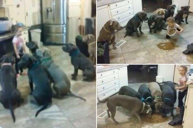 Imagens de menina de 4 anos alimentando 6 pit bulls famintos causa polêmica nas redes sociais
