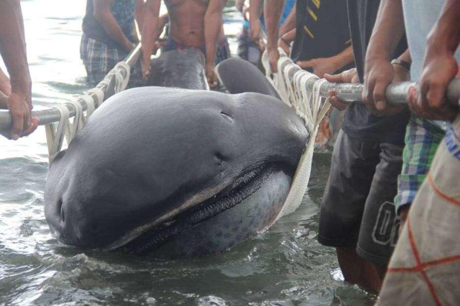Moradores das Filipinas capturaram um raro tubarão branco
