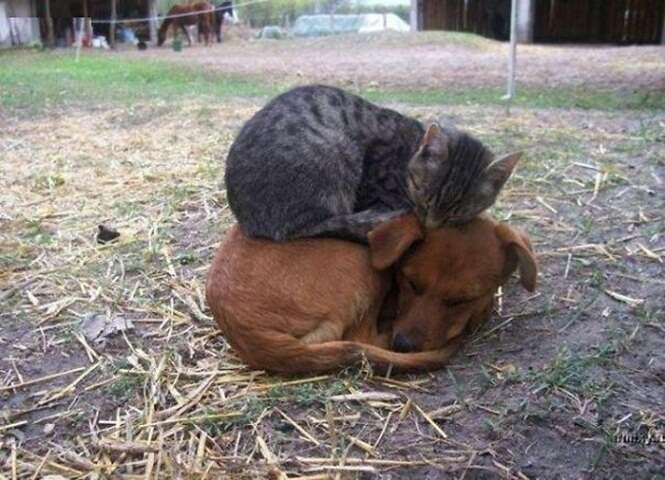 Fotos de gatos que usam cães como almofadas