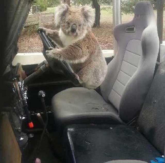 Coala é flagrado tentando roubar Land Rover