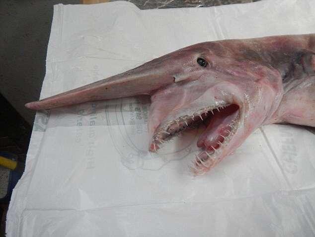 Pescadores capturam raro tubarão-duende