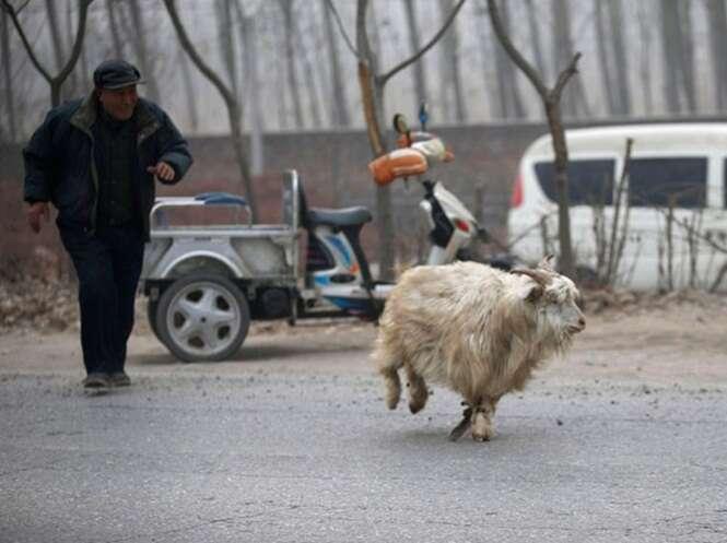 Fotógrafo registra exato momento em que cabra tenta fugir de matadouro