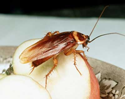 Proprietário de restaurante vegetariano impede extermínio de baratas do estabelecimento
