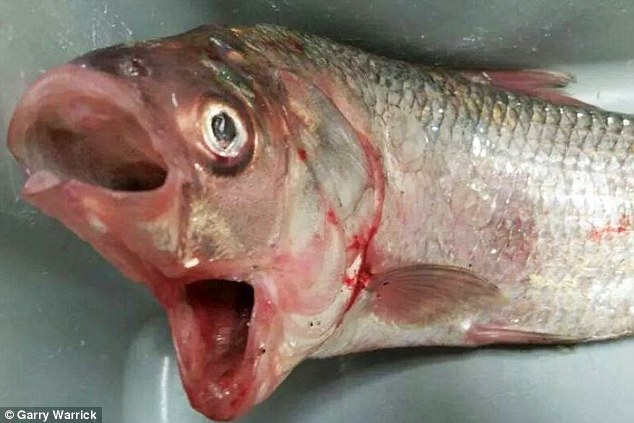 Peixe de duas bocas