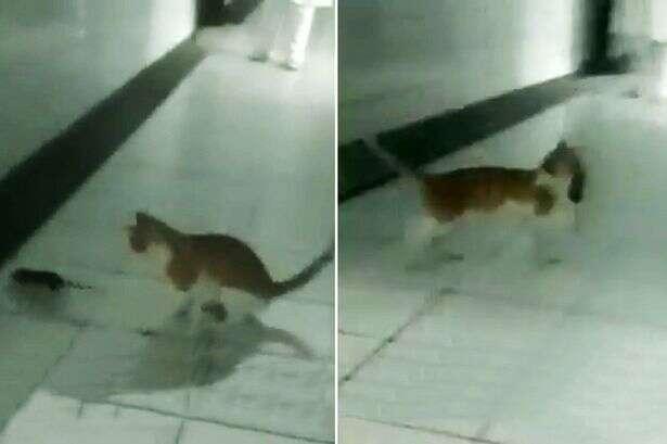 Vídeo causa polêmica ao mostrar gato matando rato em corredor de hospital