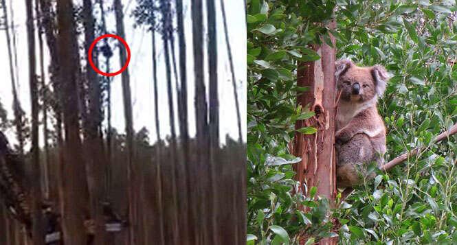 Coala aflito fica agarrado em árvore que era cortada em mata na Austrália
