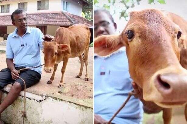Conheça a menor vaca do mundo