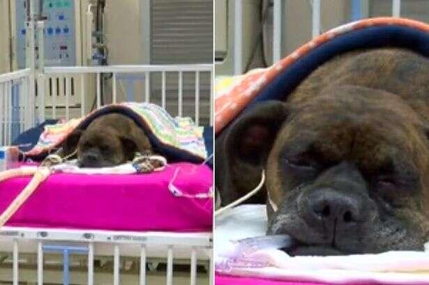 Cadela heroína que protegeu dono dentro de residência em chamas luta para sobreviver