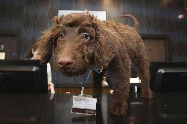 Filhote de cachorro se torna funcionário em hotel de Londres
