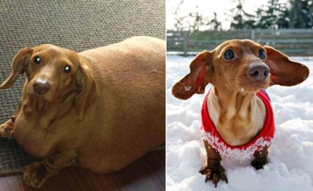Cão obeso, que pesava 4 vezes mais de animais da mesma raça, passa por dieta para mudar de vida