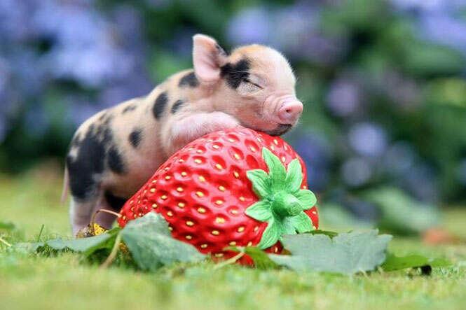 Preferência Os porquinhos mais adoráveis do mundo YG97