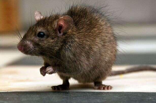 Bebê de seis meses morre após ser mordido por rato criado para alimentar cobra