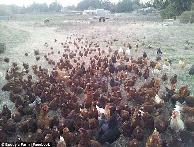 Mais de 300 galinhas que botam ovos coloridos são roubadas de fazenda