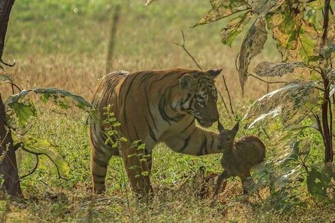 Imagens incríveis mostram momento em que tigre feroz fica poupa a vida de veado bebê indefeso