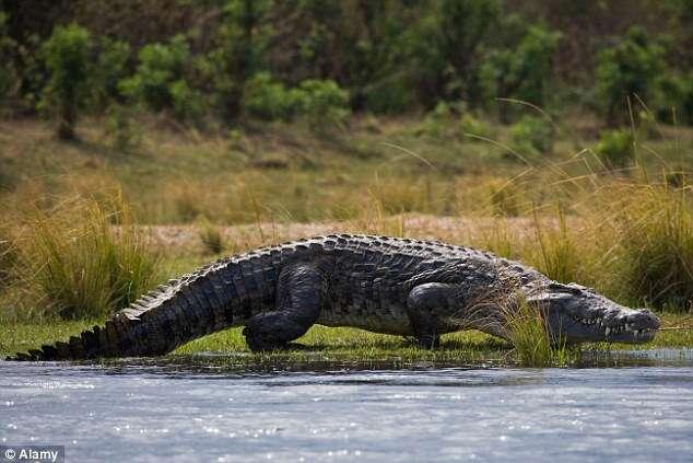 Turistas assistem momento bizarro em que crocodilos come corpo de homem em rio