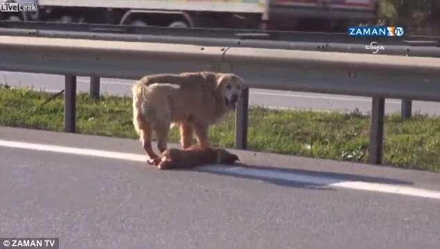 Cão desesperado é filmado tentando proteger amigo atropelado