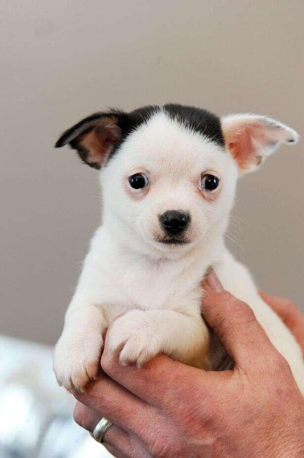 """Conheça o cãozinho que nasceu com o """"bigode"""" de Hitler"""