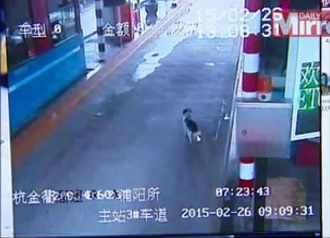 Vídeo comovente mostra cão perdido em pedágio verificando cada carro que passa em busca de seus donos
