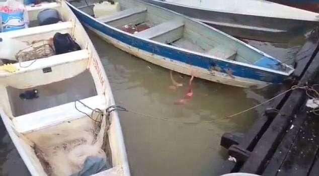 MEAT the Piranhas! Ravenous fish have feeding frenzy