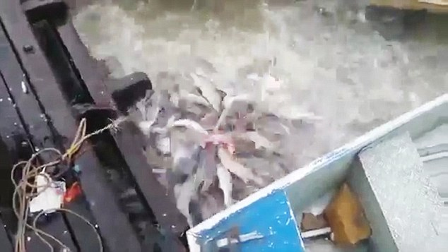 VID: Piranhas In Feeding Frenzy On Amazon River