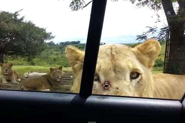 Turistas em safari entram em desespero após leão abrir porta de carro em que estavam