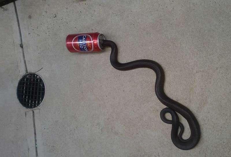Cobra venenosa fica com cabeça entalada em lata de cerveja e é resgatada pelo serviços de animais selvagens