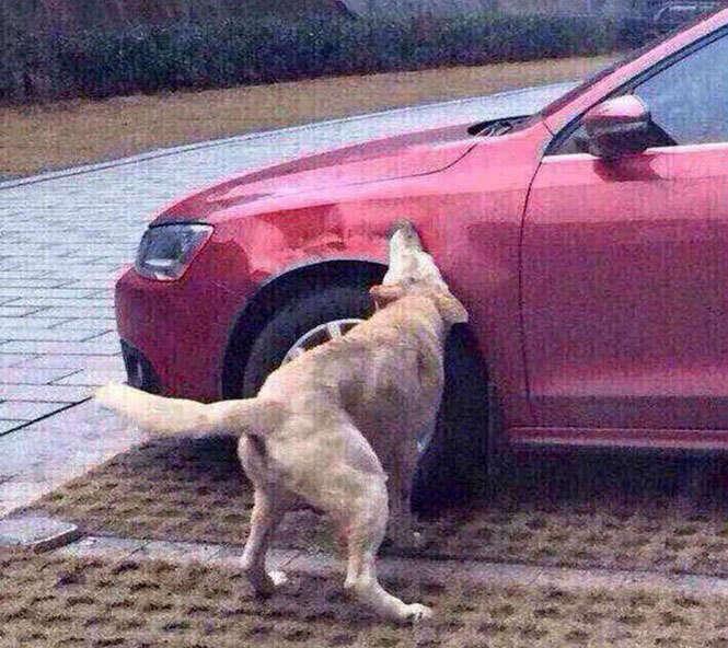 Cachorro mordendo carro