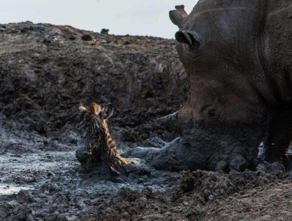Imagens incríveis mostram momento em que rinoceronte salva zebra dentro de poço de lama