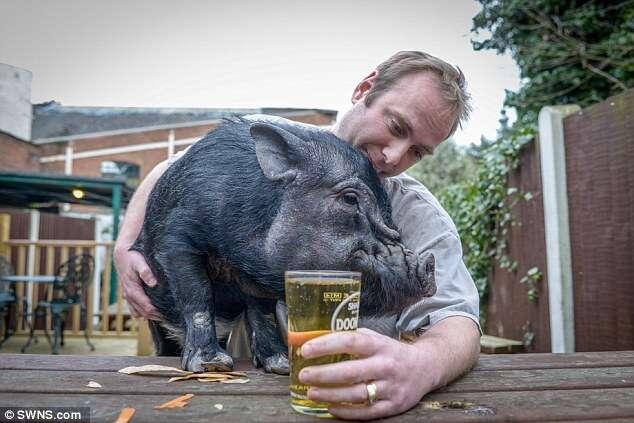 Mini-porca é proibida de frequentar bar após ficar bêbada no local