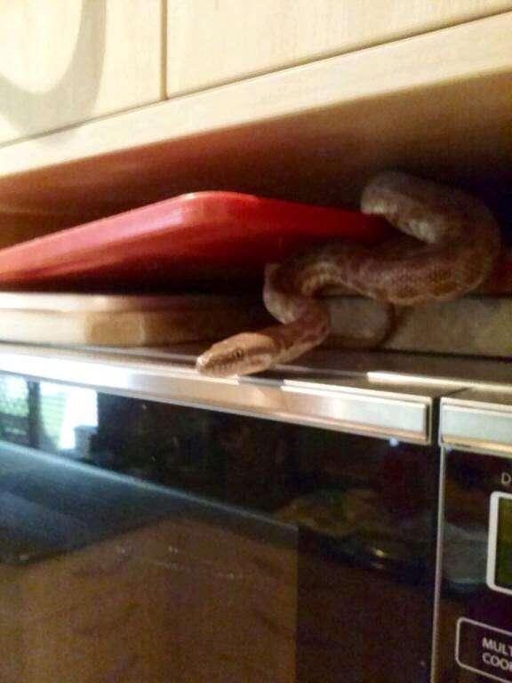 Família encontra cobra píton em cima de micro-ondas da cozinha
