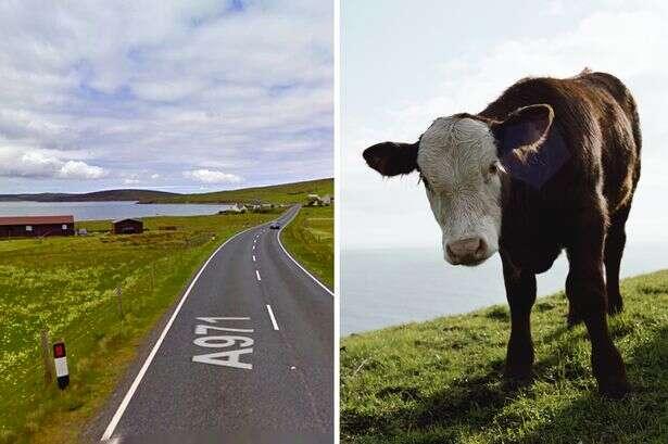 Mulher tenta ajudar vaca dar à luz e é esmagada até a morte