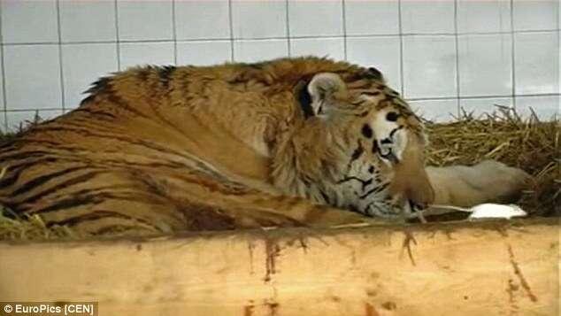 Tigre em depressão muda seu ânimo após receber ratos para se alimentar e se tornar amigo dos roedores
