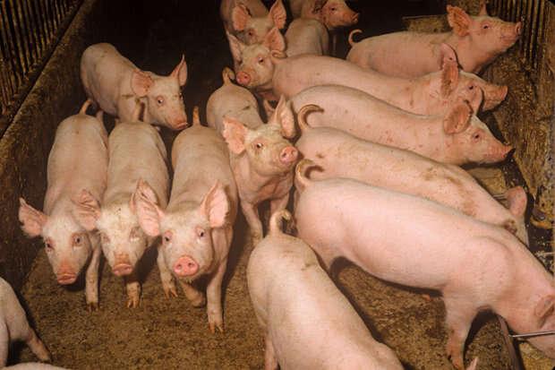 Fazendeiro cai em chiqueiro e é comido vivo por seus próprios porcos