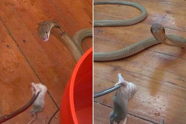 Vídeo de homem alimentando cobra mortal sem nenhum equipamento de proteção se torna viral na web