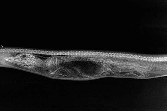 Imagens incríveis em raio-X mostram o processo de digestão de uma cobra píton