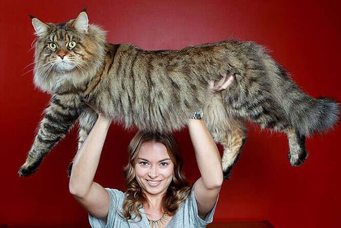 Maiores gatos do mundo