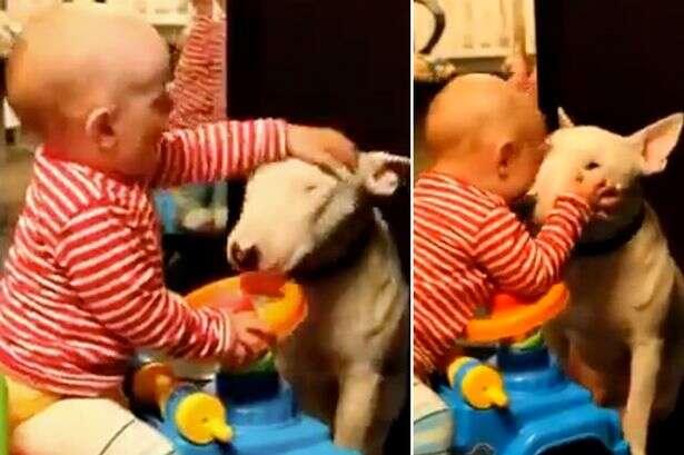 Vídeo causa polêmica ao mostrar bebê beijando e até batendo em cão Bull Terrier