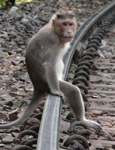 Maquinistas de trem são atacados por macaco