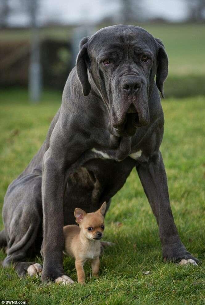 Chihuahua encontrado abandonado na rua se torna amigo inseparável de cão 120 vezes maior