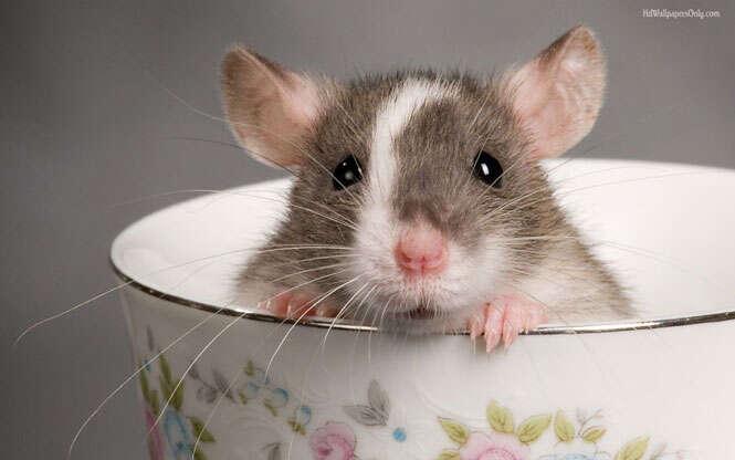 sonhar com ratos xicara