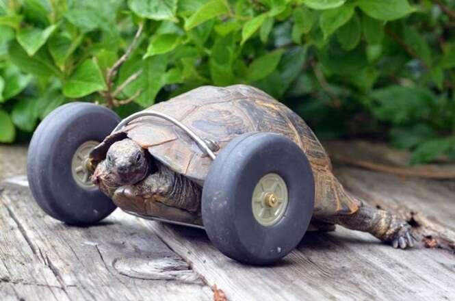 Tartaruga de 100 anos começa a caminhar com o dobro de sua velocidade após ganhar rodas para substituir patas dianteiras