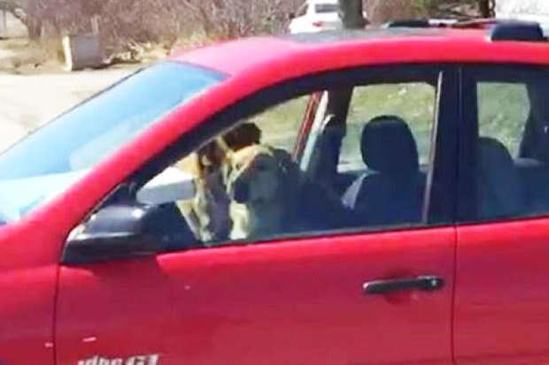 Imagem de cães fugindo de veterinários enquanto dirigiam carro de seus donos se torna viral