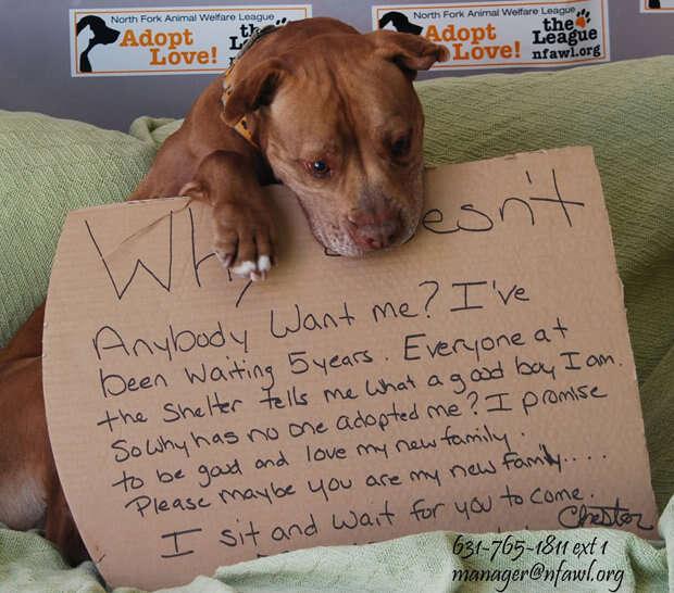 Pit Bull que passou 5 anos abandonado em abrigo à espera de adoção consegue novo lar