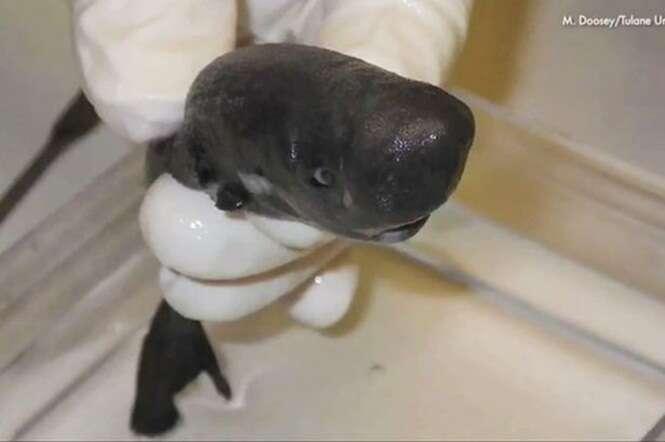 Tubarão minúsculo visto apenas duas vezes até hoje é colocado em museu