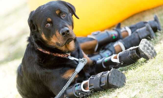 Cão que perdeu as quatro patas emociona internautas ao mostrar seu poder de superação