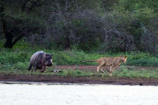 Imagens incríveis mostram leão feroz correndo assustado após tentar atacar hipopótamo bebê e ser confrontado pela mãe